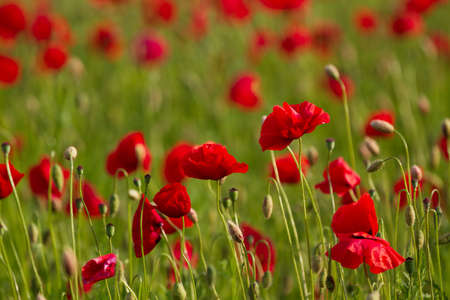 Field of red poppies flowers, close up
