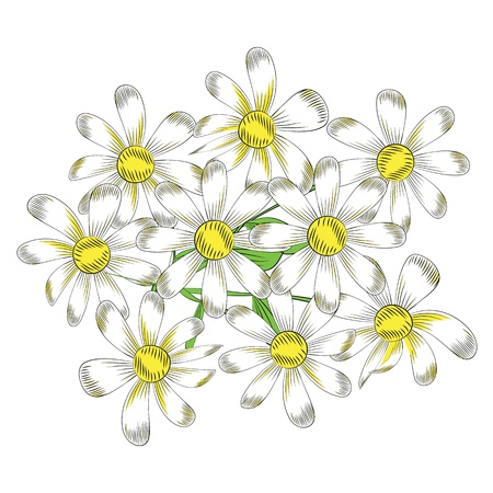 chamomile flower: chamomile flowers on a white background Illustration