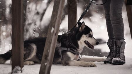 Siberian husky dog black and white color in winter in snowfall. Walking with a dog in nature. 写真素材
