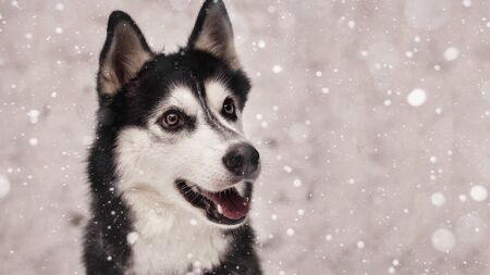 Siberian husky dog black and white color in winter in snowfall.