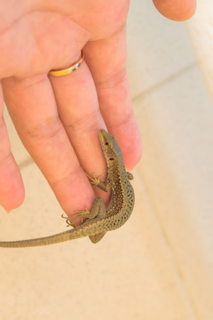 africa chameleon: lizard on the palm