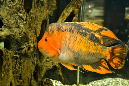 zebrafish: black-red fish in the aquarium