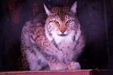 underbrush: lynx is sitting and watching straight