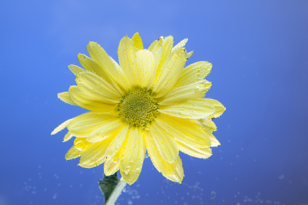 Flowers under the water, yellow chrysanthemum with air bubbles on the lilies on a blue background.