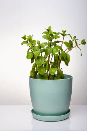 Natural green mint grass in a blue pot. Minimalism. Office decor, a good card for advertising.
