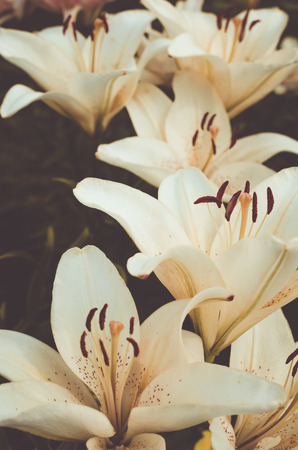 biege: The flowerbed of biege lilies Stock Photo