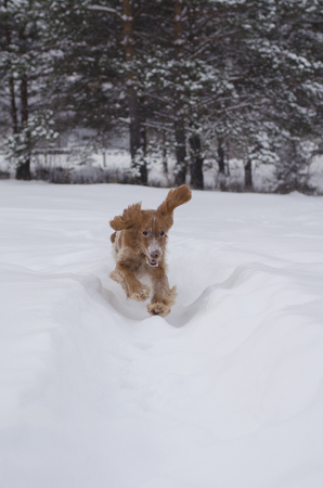 Young red russian spaniel dog rushing on snowy path with its funny flying ears