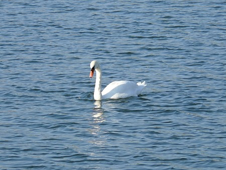 warmer: White swan on a pond quietly basking in the rays of the autumn sun, preparing for departure to warmer country Stock Photo