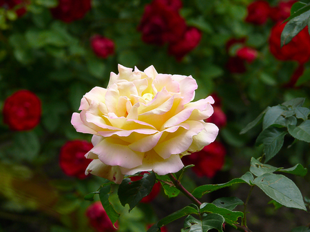 compared: large, beautiful rose - only white looks nice compared to other red roses