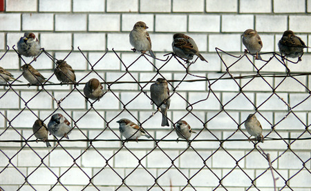 bask: A flock of sparrows has decided to take a break and bask in the sun on a cold autumn day
