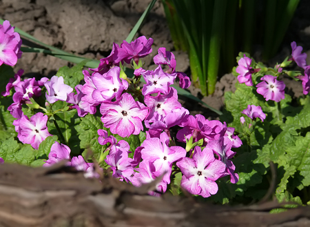 olympus: primrose was called the flower of the twelve gods of Olympus and believed in its healing properties Stock Photo