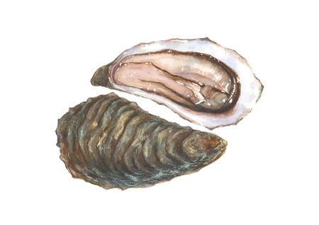 Watercolor oyster on white background