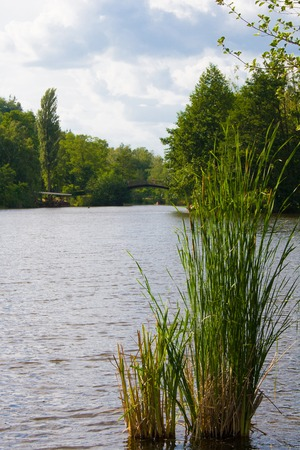 The lake and the bulrush in park in summer. Bridge in the background. Mezhyhiria, Ukraine 版權商用圖片
