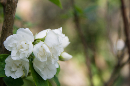jessamine: Beautiful jasmine flowers with green bush as a background. Blooming  jasmine flowers in the summer. Archivio Fotografico
