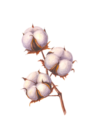 Watercolor cotton branch, isolated on white background