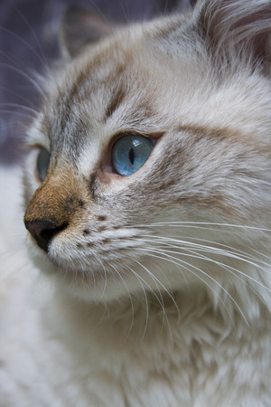 close up eyes: Siberian Neva Masquerade cat, kitten 9 months old, with beautiful blue eyes close-up Stock Photo