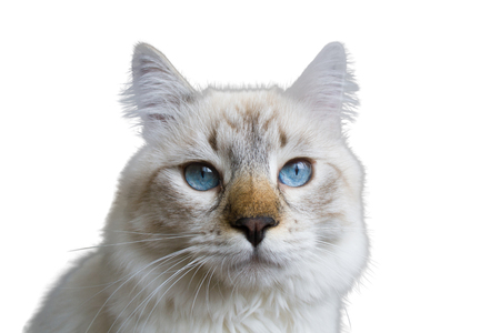 Siberian Neva Masquerade cat, kitten 9 months old, with beautiful blue eyes close-up, isolated on white background Stock Photo