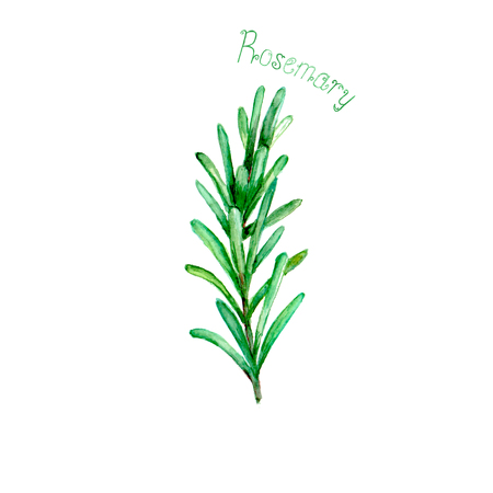 Rosemary herb spice isolated on white background. Watercolor hand drawn botanical illustration. Watercolour kitchen herbs collection.