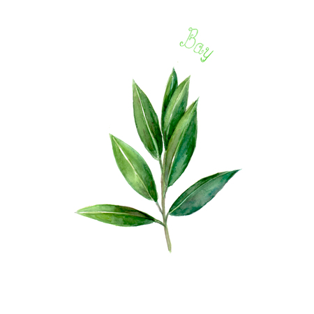 Bay leaves herb isolated on white background. Watercolor hand drawn botanical illustration. Watercolour kitchen herbs collection.