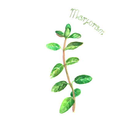 Marjoram herb spice isolated on white background. Watercolor hand drawn botanical illustration. Watercolour kitchen herbs collection. Stock Photo