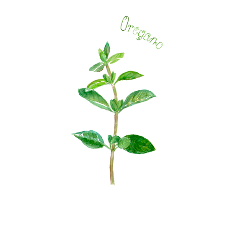 Oregano herb spice isolated on white background. Watercolor hand drawn botanical illustration. Watercolour kitchen herbs collection.