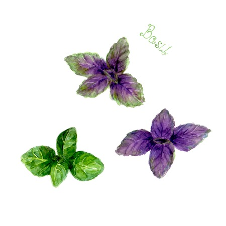 Green and purple basil leaves isolated on white background. Watercolor hand drawn botanical illustration. Watercolour kitchen herbs collection. Ilustração