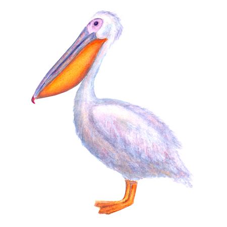 Pelican watercolor. White Pelican. Hand drawn watercolour bird isolated on white background. Ocean bird illustration. Template print for poster, t-shirt, wrapping, wallpaper, cards, textile.