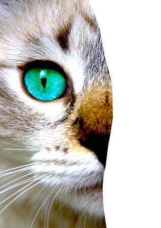 Close up view of cat with green eyes. Cut portrait isolated on white background. Pets and lifestyle concept. Space for text. Close-up. Stock fotó
