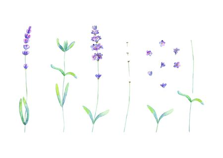 Lavender flowers leaves plants purple green watercolor set isolated on white background. Watercolour hand drawn botanical illustration. Elements for invitation, wedding, greeting cards, textile design