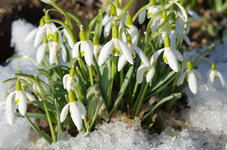 galanthus: Snowdrops Voronova lat.Galanthus woronowii