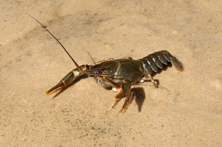 chitin: Live cancer on the sand Stock Photo