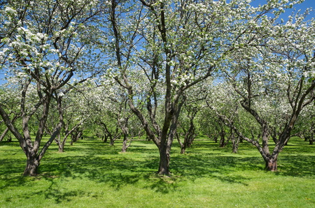 apfelbaum: Blühende Apfelbäume im Frühjahr Garten
