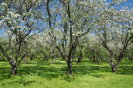 albero di mele: Meli in fiore nel giardino di primavera