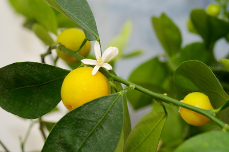 fruiting: Simultaneous flowering and fruiting Citrofortunella microcarpa Stock Photo