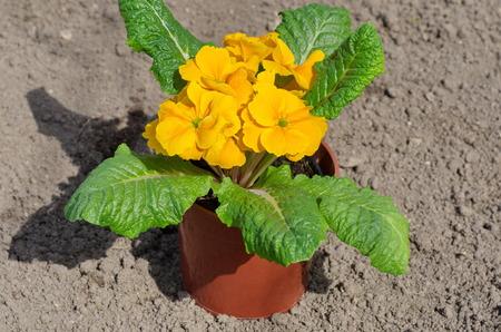vulgaris: Primula vulgaris in pots outdoors
