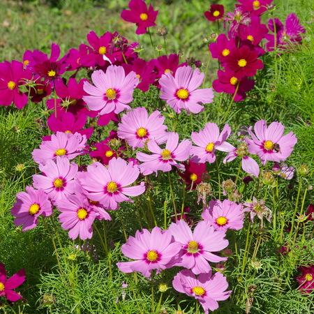 Flowers Kosmeya (lat. COSMOS)