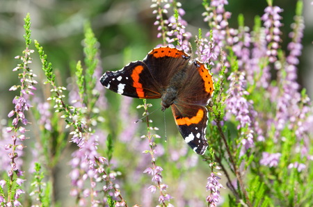 Butterfly Admiral (lat. Vanessa atalanta) on a flowering Heather Stock Photo