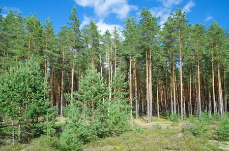 uninhabited: Summer landscape with pine forest a Sunny day Stock Photo