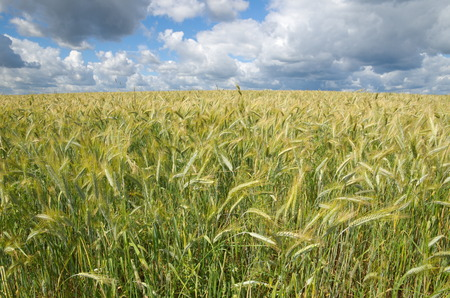 secale: Ears of rye against the background of the cloudy sky