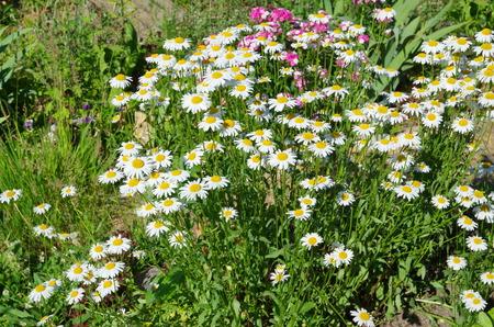 leucanthemum: Flowers Leucanthemum vulgare, or the Daisy garden in the flowerbed in the garden