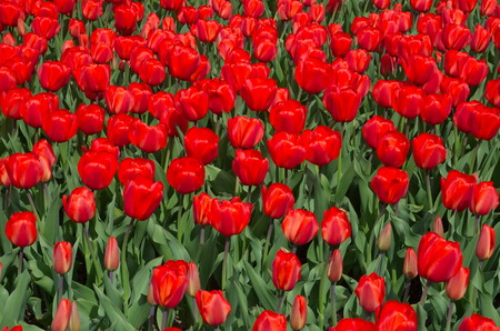Background of red tulips Stock Photo