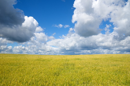 secale: Landscape with field of rye Stock Photo