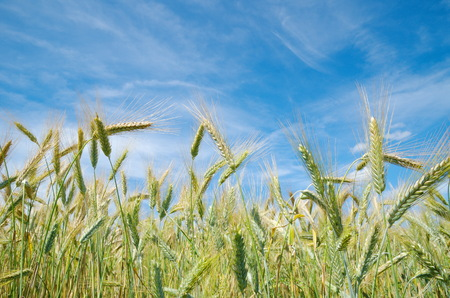 secale: Ears of rye against the blue sky