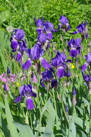 Purple bearded irises (lat. Iris barbatus) in the garden