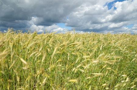 Ears of rye against the background of a stormy sky Stok Fotoğraf