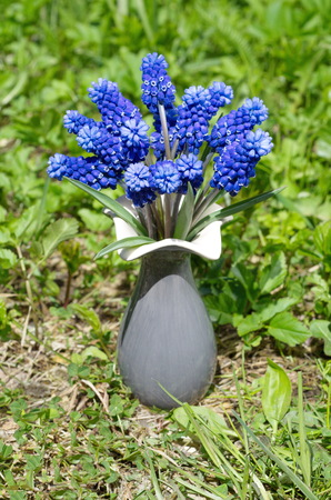 Muscari latifolia (lat. Micah latifolium Kirk) in a ceramic vase on the grass Stock Photo