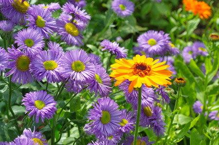 Flowers Calendula and Erigeron bloom in the garden Stock Photo