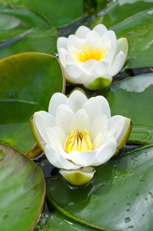 nymphaeaceae: White water-lilies or water lilies (lat., Nymphaea alba)