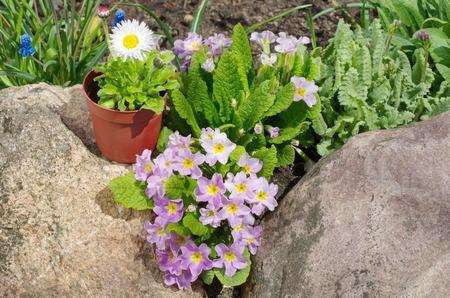 Primula vulgaris and perennial Daisy (lat. Bellis perennis) in the garden