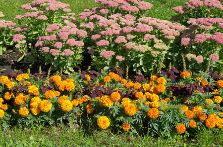 Marigold (lat. Tagetes) and Sedum prominent (lat. Sedum spectabile) blossom on the flowerbed in the garden